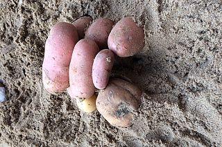 Hunebedden bouwen van aardappels, met 'boomstammen' waarop ze kunnen rollen.